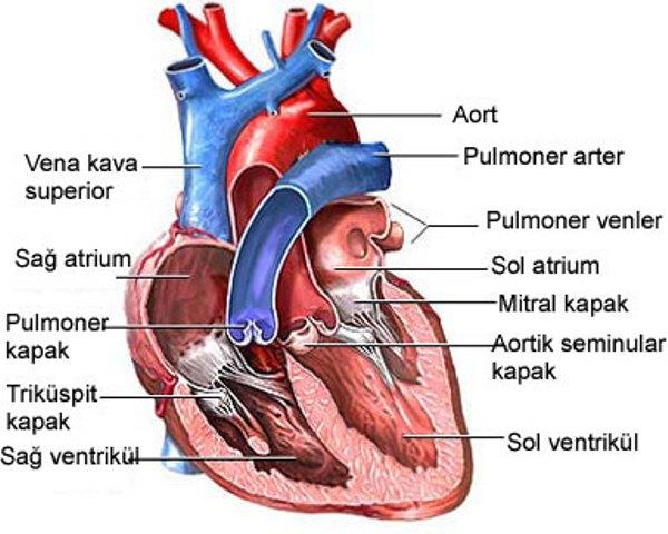 insan kalbi