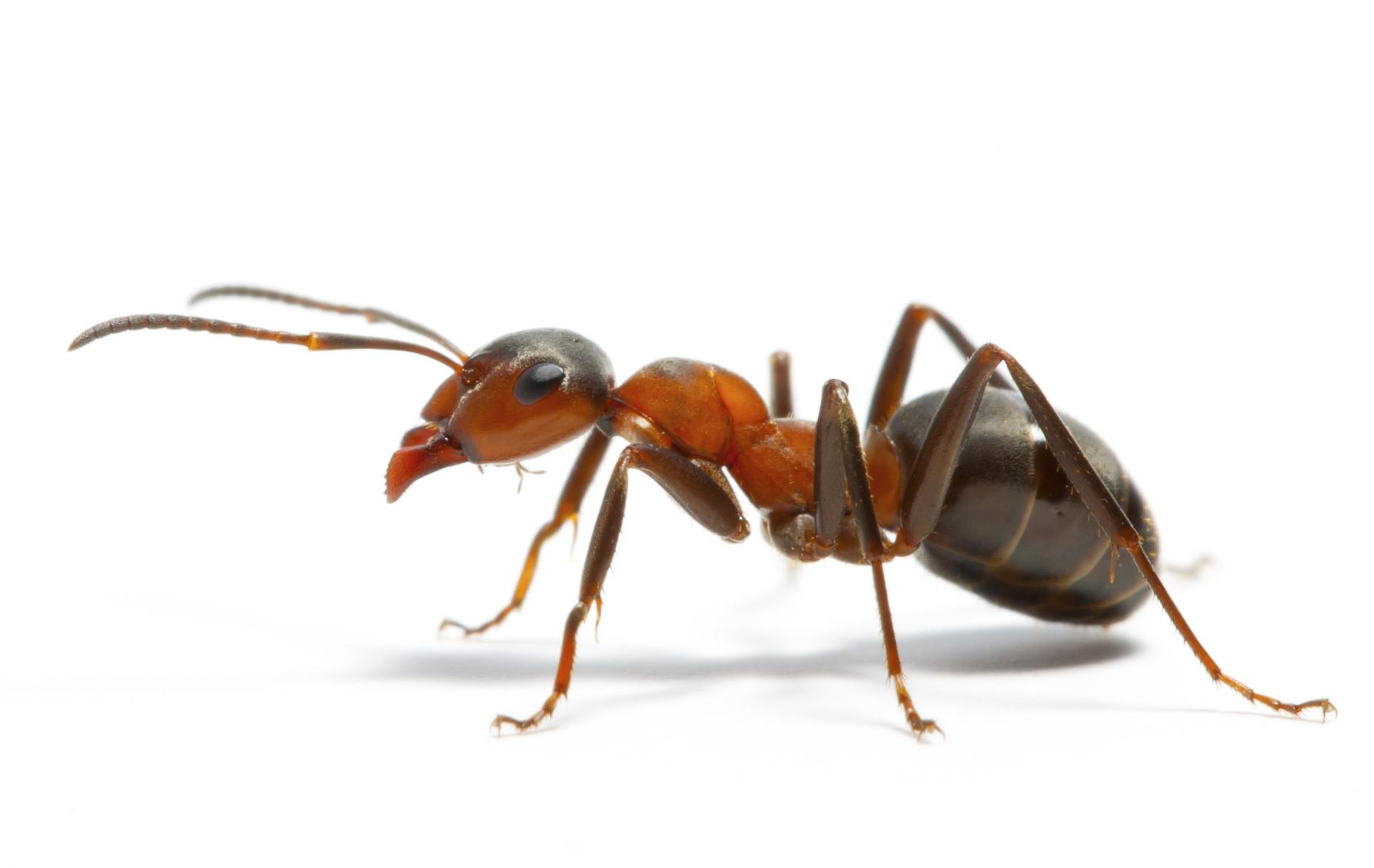 karıncalar yönlerini nasıl bulur
