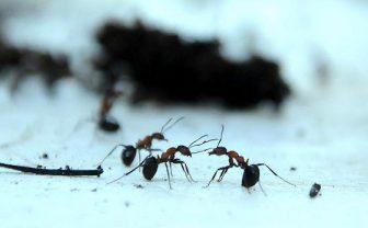 Karıncalar Yönlerini Nasıl Buluyor?