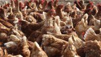 Tavukların Şaşırtıcı Zekası