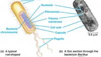 Bakteri Hücre Duvarı Yapısı