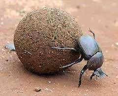 bok böceği