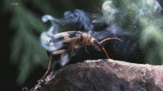 Bombardıman Böceği Nedir?