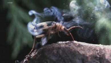 Photo of Bombardıman Böceği Nedir?