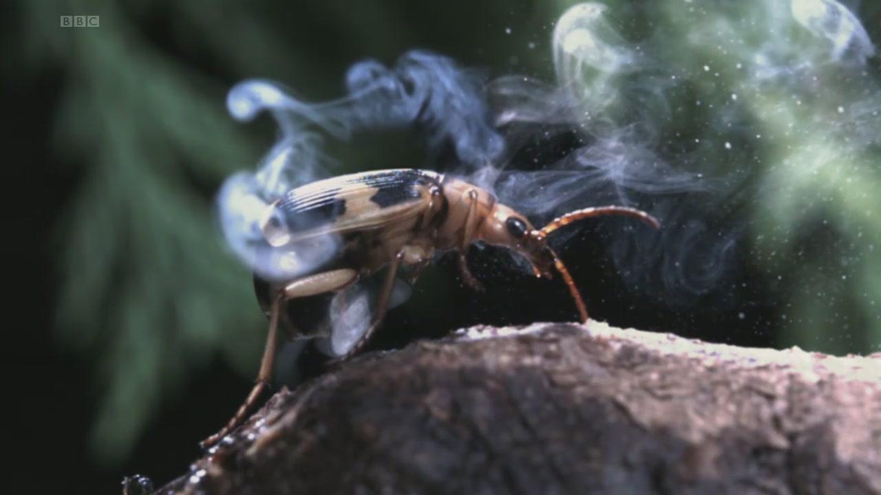 bombardıman böceği