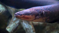 Elektrikli Yılan Balığı Nedir?