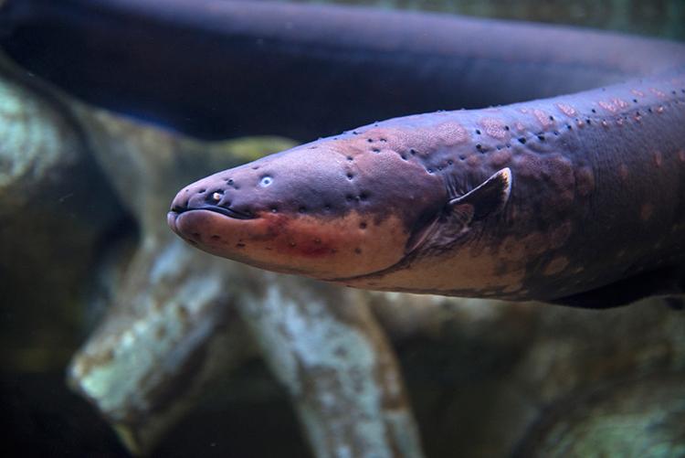 elektrikli yılan balığı