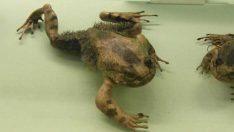 Kıllı Kurbağa Nedir?