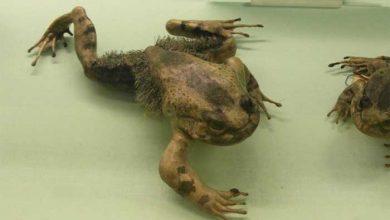 Photo of Kıllı Kurbağa Nedir?