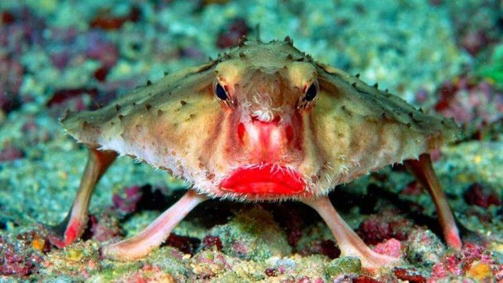 Kırmızı Dudaklı Yarasa Balığı Nedir?