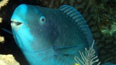 Mavi Papağan Balığı Nedir?