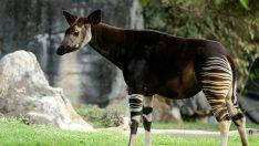 Okapi Nedir?