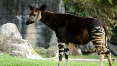 Photo of Okapi Nedir?