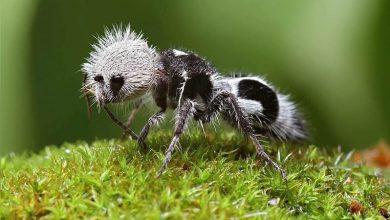 Photo of Panda Karıncası Nedir?