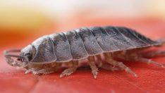 Tespih Böceği Nedir?