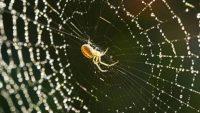 Örümcek İpeği Tıpta Yeni Bir Kapı Mı Açıyor?