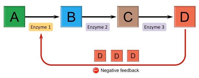 feedback-inhibisyonu