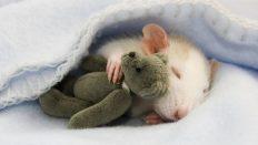 Deney Hayvanları: Sıçanlar Ve Fareler