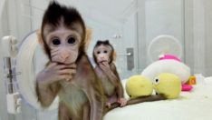 İlk Klon Primatlar Zong Zong ve Hua Hua