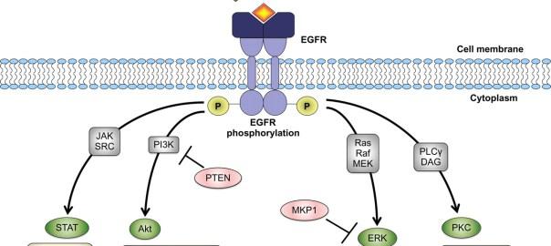 EGF Reseptörü