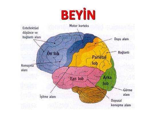 beyin-bolumleri