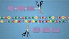 TALEN Tekniği: Genetik Düzenleme