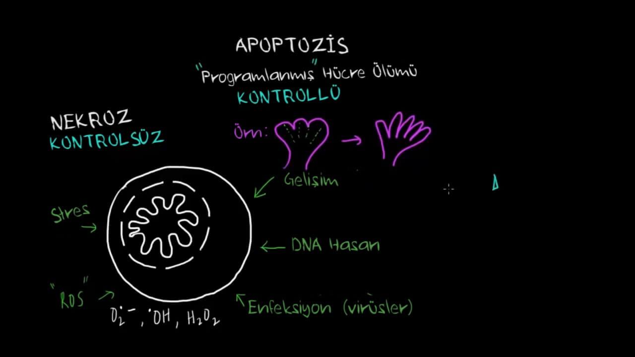 apoptozis