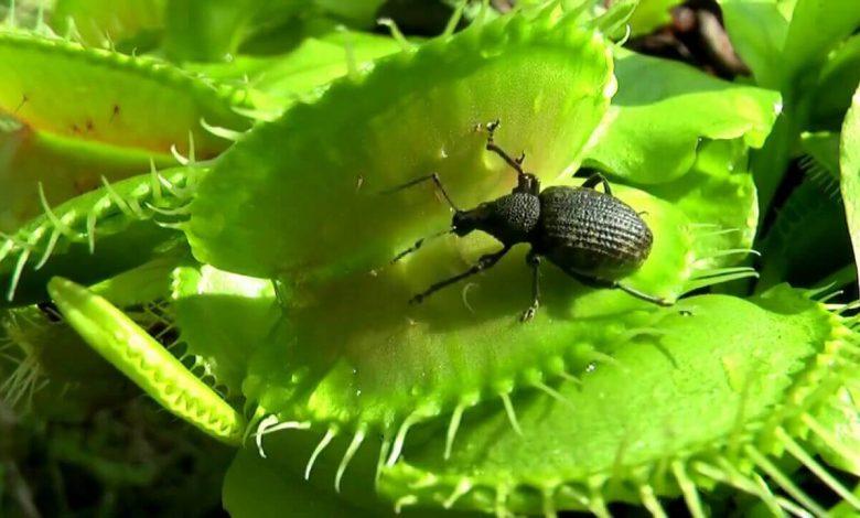 böcekçil bitki