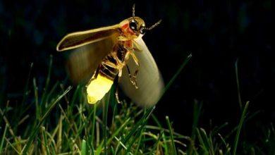 Photo of Ateş Böcekleri ve Biyolüminesans