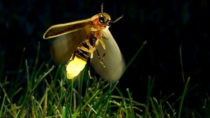 Ateş Böcekleri ve Biyolüminesans