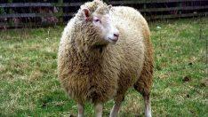 Dolly'nin Yürek Burkan Hikayesi ve Klonlama Sorunları