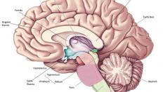Hipotalamus ve Görevleri
