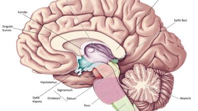 Photo of Hipotalamus ve Görevleri