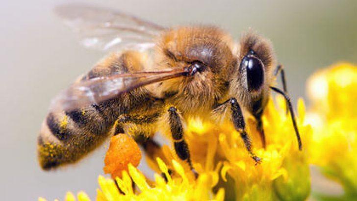 Arılar Yok Olursa Ne Olur?