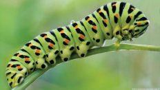 Caterpillars (Tırtıllar)