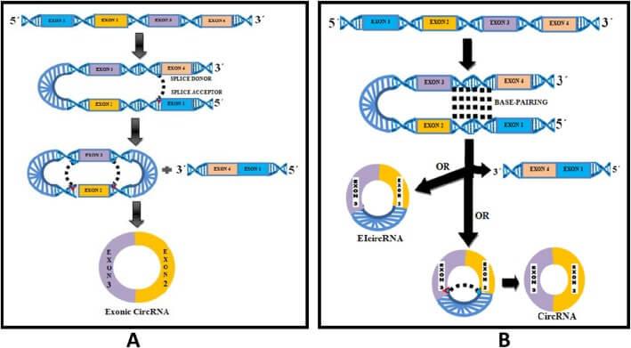 Şekil 1: Dairesel biyogenez modelleri