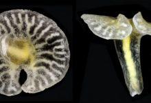Photo of Dendrogramma ve Genel Özellikleri